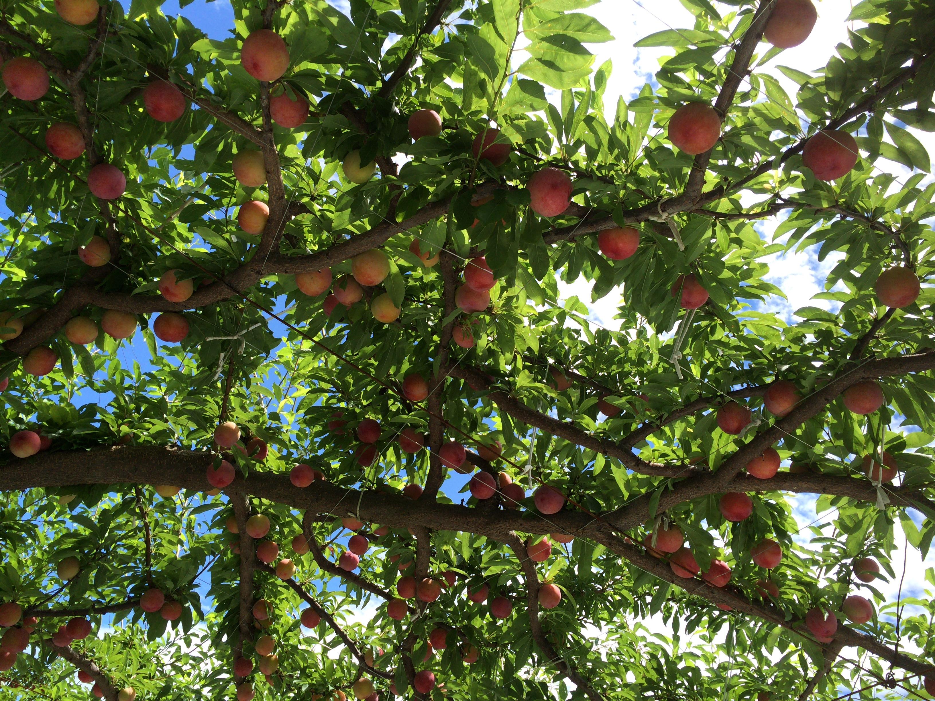 農家お助けプロジェクト レシピその2 酵素ジュース!